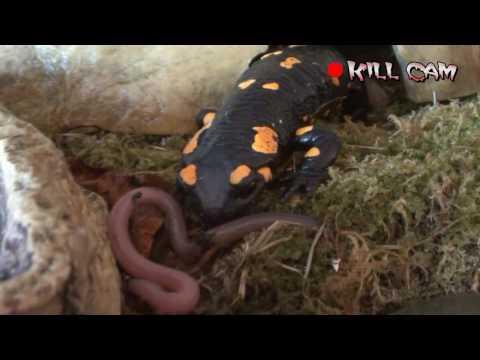 Das indische Präparat der Würmer
