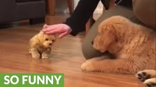 Golden Retriever puppy super jealous of toy doggy