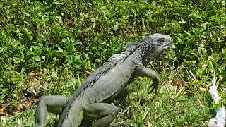 Igianas are everywhere Why most People in Key West Hate Iguanas 2017
