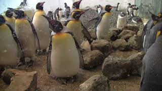 #2-14 Jan 2018 King penguin at Adventure world, Japan