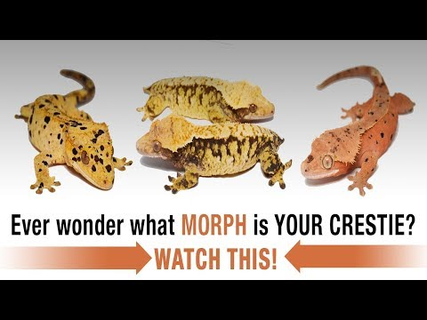 The COMPLETE Guide To Crested Gecko Morphs! Part 1 Mp3