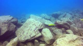 preview picture of video 'Dimidiochromis compressiceps gold morph at Nkhata Bay'