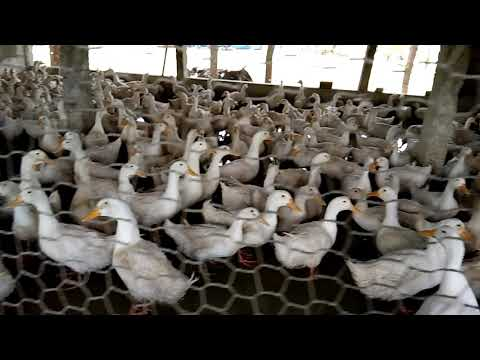Duck Farming White Pekin Duck Chicks