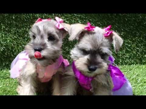 Female Mini Schnauzer Puppies