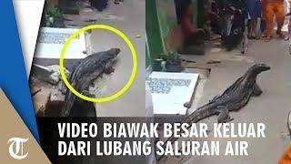 Viral Video Biawak Berukuran Besar Keluar dari Saluran Air, Tampak Tenang saat Jadi Tontonan