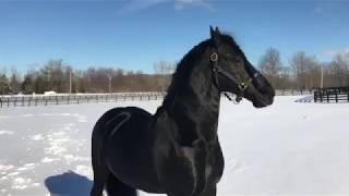 Beautiful Stallion Frolics in the Snow