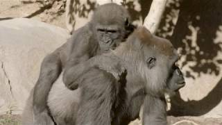Newswise:Video Embedded experts-come-together-to-save-3-year-old-gorilla-s-eyesight-at-san-diego-zoo-safari-park