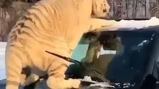 Тигр на машине жесть автоприколы