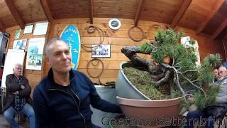 First Styling Of A Mugo Pine Bonsai (timelapse)