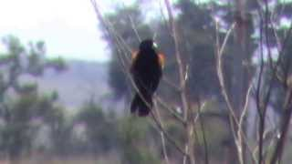preview picture of video 'wikłacz wachlarzowaty (Euplectes axillaris), Fan-tailed Widowbird, Kortstertflap'