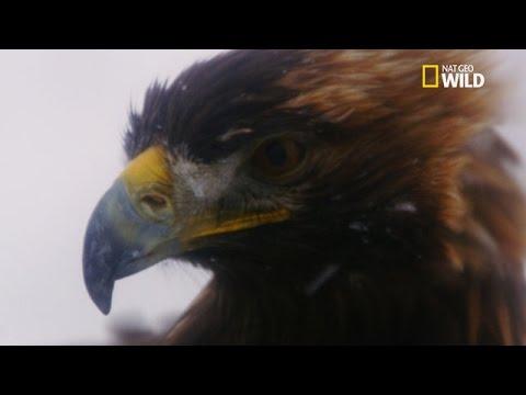L'aigle royal, le plus grand prédateur aérien du monde !