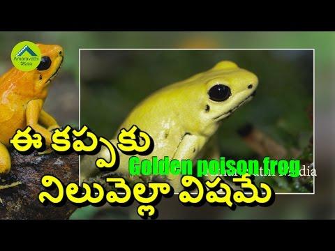 ఈ కప్పకు నిలువెల్లా విషమే | World's Most Toxic Frog | Golden poison frog | Amaravathi Media