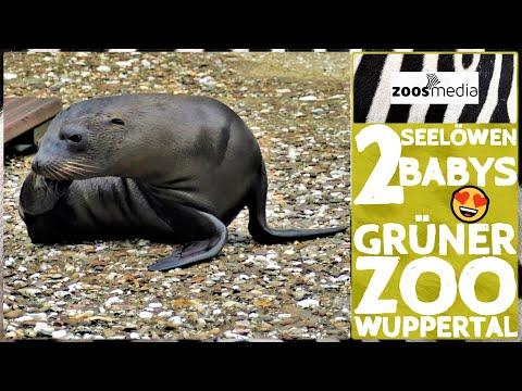 Film von Zoss.media: Seelöwen im Grünen Zoo