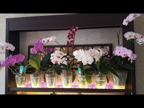 Быстрая адаптация пафиопедилумов с дороги. Моя витрина с орхидеями!
