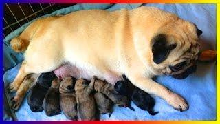 Pug Dog Playing With Baby