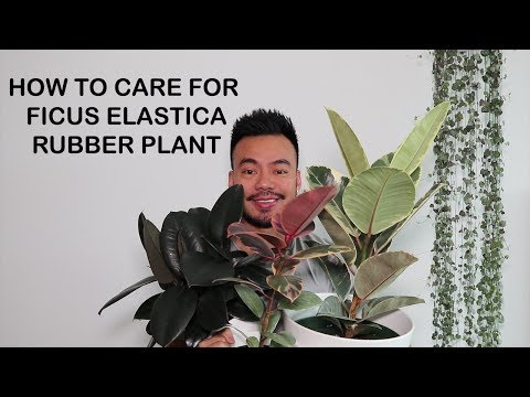 , title : 'How to Care For Rubber Plant [Ficus Elastica] | Houseplant Care Tips