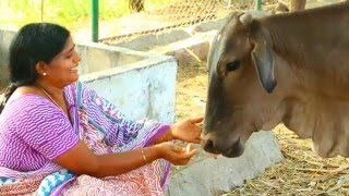 Why Cow Is Holy In India