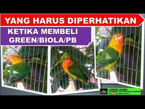 mp4 Lovebird Biola Split Pb, download Lovebird Biola Split Pb video klip Lovebird Biola Split Pb