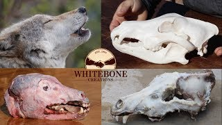 """HOW TO CLEAN WOLF SKULL """"GRAPHIC"""""""
