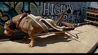 The World's Strongest Pit Bulls use Bully Max