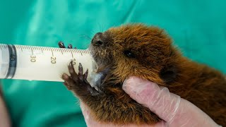 Newswise:Video Embedded orphaned-baby-beavers-crisscross-nys-for-treatment-at-cornell