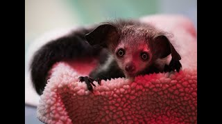 INFANT ANNOUNCEMENT: RARE AYE-AYE BORN AT THE DUKE LEMUR CENTER