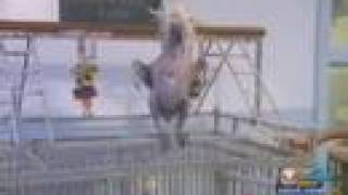 Oscar The Naked Dancing Cockatoo