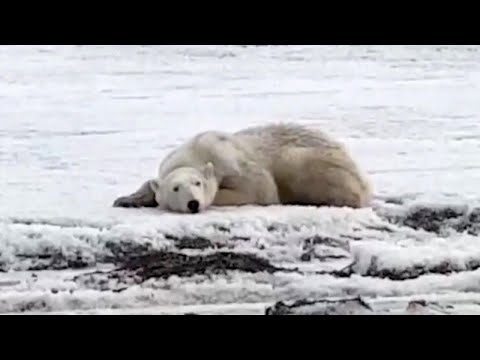 Polar Bear Swims Ashore After Drifting 400 Miles