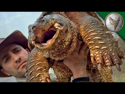 World's Most Famous Snapping Turtle - Dragon Tails Episode 1
