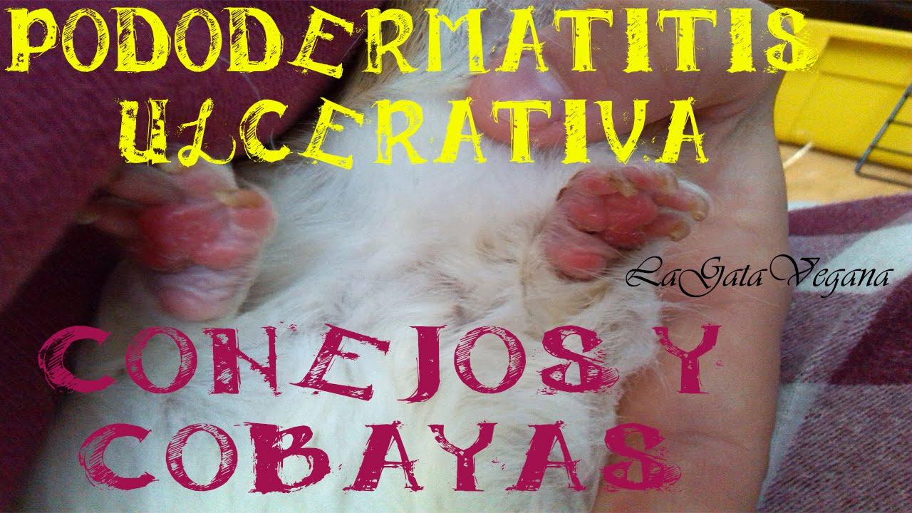 PODODERMATITIS ULCERATIVA EN COBAYAS Y CONEJOS / PROBLEMA GRAVE EN LAS PATAS
