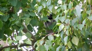 Ворона прячется от скворцов
