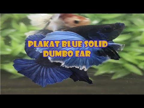 PLAKAT BLUE SOLID DUMBO EAR