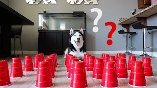 How Smart is a Siberian Husky? Ultimate Intelligence Test!