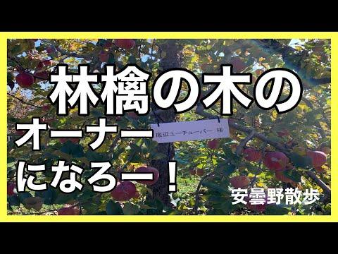 , title : '林檎の木のオーナーになろー!「安曇野散歩」一本の林檎の木から何個林檎が取れるか??