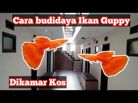 Video Cara Budidaya Ikan Guppy Di kamar Kos Dengan Mudah