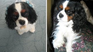 What Its Like To Have A Cavalier King Charles Spaniel