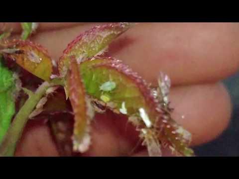 100% РАБОТАЕТ! Стоит копейки! Тля и муравьи пропадают почти мгновенно