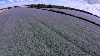 Borage Fields for Honey FPV Drone flight