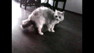 Кастрированный кот Лизон пикает Скрипу.