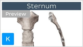 Sternum: location, definition, landmarks (preview) - Human Anatomy |Kenhub
