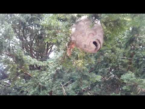 """I was sent to a home in Bridgewater, NJ who's owner was walking to their car when he noticed a huge gray hornets nest in the tree adjacent to the walkway. Hornets make their own nesting material by mixing chewed-up wood pulp from tree bark mixed with their saliva, forming an enclosed nest around the comb where the queen lays her eggs. First I want to say, gpod thing he did not try to remove it himself. These hornets are extremely aggressive, and will defend its nest if threatened. They are close relatives of yellow jackets and they are just as nasty and aggressive, singing anyone or anything that comes into the """"danger zone"""" around their nest. These wasps, unlike bees, can sting repeatedly, so a swarm of them can pose quite a dangerous situation. I quickly put on my bee suit. With these particular stinging insects, I wasn't going to take any chances. With the protection of my bee suit, I was able to I walk right up to the nest, and find the entry hole. Once found, we Inject a foaming insecticide directly into the nest, quickly paralyzing all of the hornets and any stray hornets that might be returning from gathering nest building material. Once I was sure that there was no further danger from those hornets, I removed the nest from the branch, and let the homeowners know to stay away from the area for a while because there still could be returning hornets wondering where their home went. Eventually the hornets would go elsewhere."""