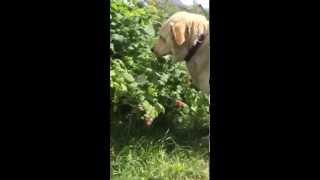 Собака Владимира Мегре Найда лакомится малиной