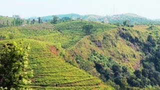 AVT Tea Plantation in Kuttikkanam