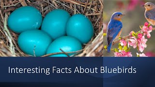 Interesting Facts About Bluebirds