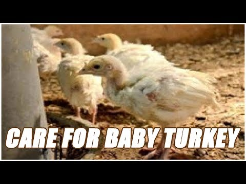 , title : 'How To Take Care Of A Baby Turkey