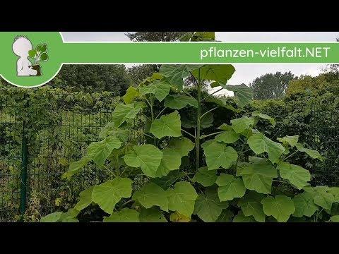 Blauglockenbaum - Jungbäume - (Paulownie/Kiri - Paulownia tomentosa) - Baumbestimmung