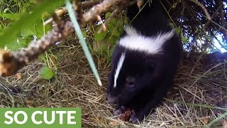 "Man films wife close to skunk ""just in case"" she gets sprayed"