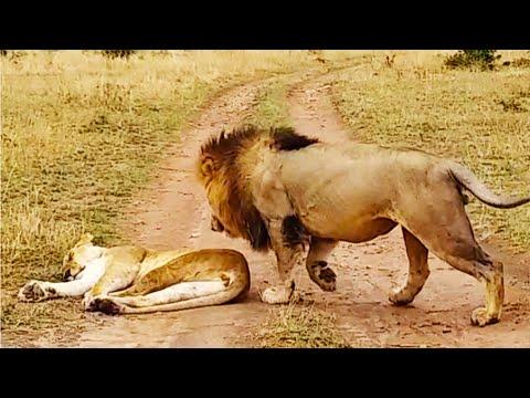 Неправильно разбудил львицу и получил!