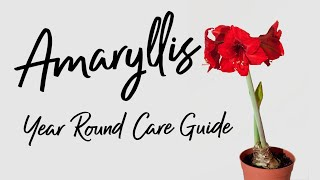 How to Care for Amaryllis throughout the WHOLE YEAR