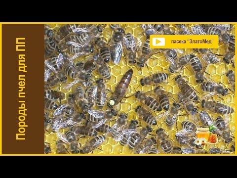 Блок №2. Порода пчел для промышленного пчеловодства